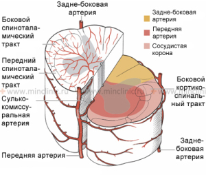 arterial%20network%20of%20the%20spinal%20cord