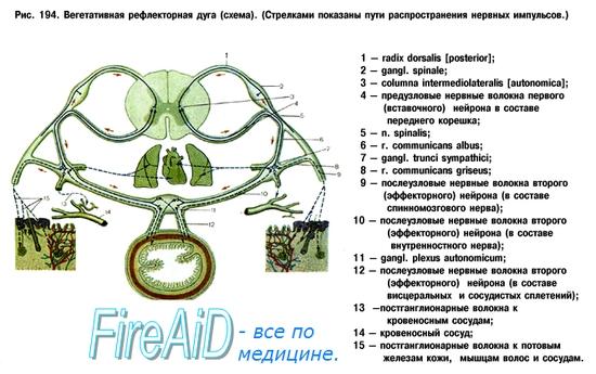 Автономная нервная система