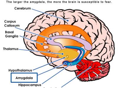 brain_amygdala_fear